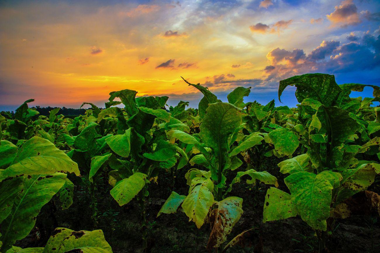 Imperial Brands - bis 2016 Imperial Tobacco - ist der viertgrößte Anbieter im internationalen Tabakmarkt mit Marken wie Gauloises, West, Davidoff und Drum. Das Unternehmen gehört zu den 100 größten und umsatzstärksten Aktienunternehmen in Großbritannien. Bild: © John Harding Photography / Getty Images