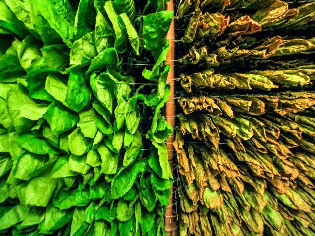 Tabakpflanzen. Bild: © Alfian Widiantono / Getty Images.
