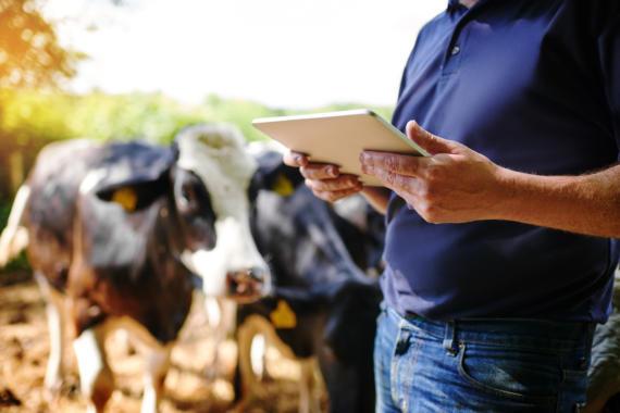 Mann hält Tablet in der Hand, im Hintergrund Kühe