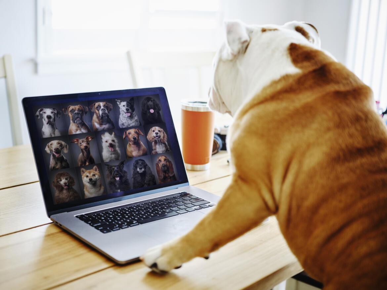 Hund sitzt vor Laptop und nimmt an Videokonferenz mit vielen anderen Hunden Teil